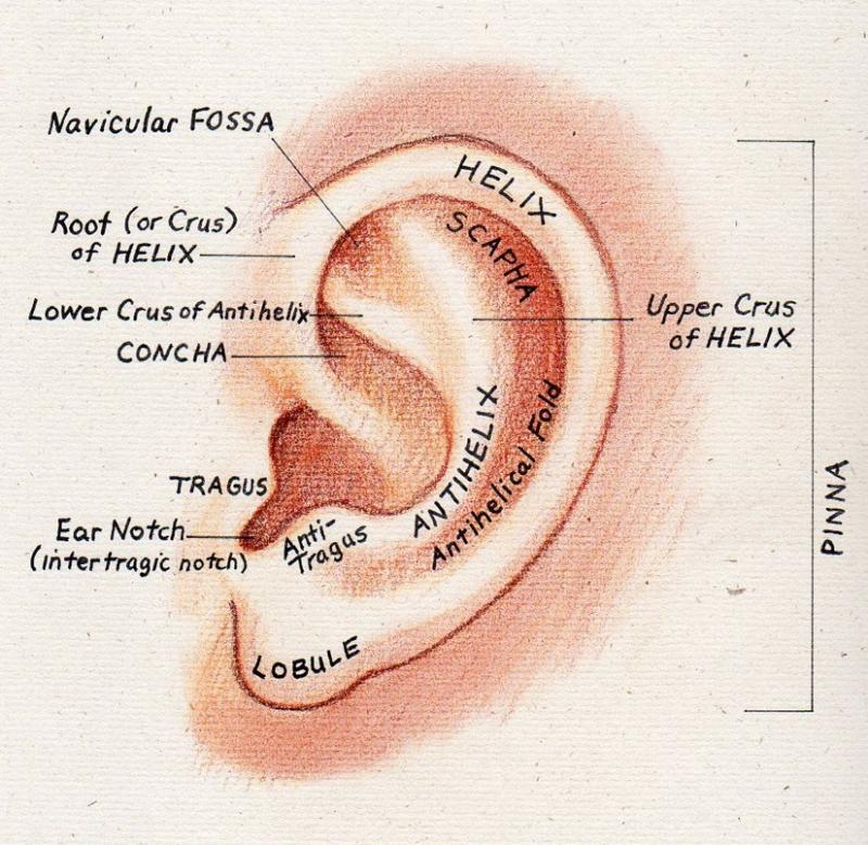 Anatomy of the Human Ear